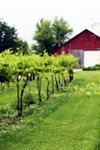 Harpor's Vineyard - 2