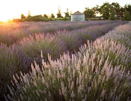 Pageo Lavender Farm is a  World Class Wedding Venues Gold Member